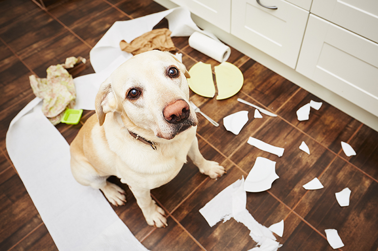 Dog with Separation Anxiety has shredded items